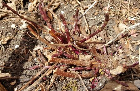 Hardy Nugget hop sprouts survive several hard frosts.