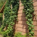 Three hop bines close to harvest time.